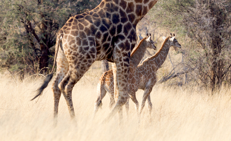 Adult giraffe with two young (Giraffa camelopardalis) in Namibia