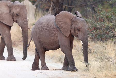 Small elephant family crossing a road - Botswana