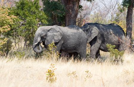 Adult African elephant (Loxodonta africana) in Botswana