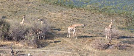 Adult giraffe (Giraffa camelopardalis) in Botswana, aerial view