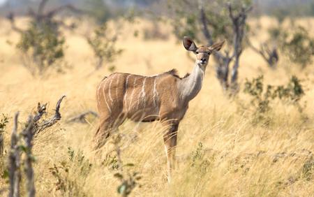 Closeup of a female greater Kudu (Tragelaphus strepsiceros) in Namibia
