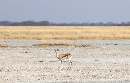 Lone springbok in the Makgadikgadi, Botswana