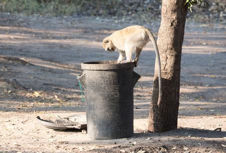 Vervet monkey on a trashcan, looking for human leftovers, Botswana Stock Photo