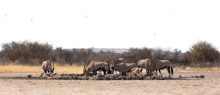 Oryx at a waterhole, Kalahari desert, Botswana