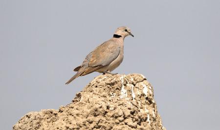 Closeup portrait of Mourning dove or Streptopelia decipiens, Botswana, Africa Stock Photo