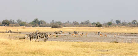 Large group of different animals close to a waterhole, selective focus, Botswana