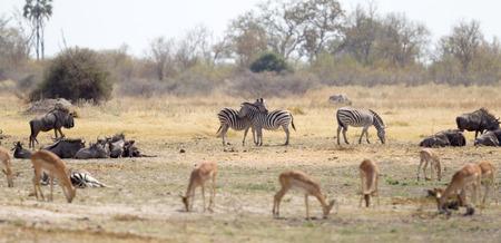 Two zebras cuddling, close to a waterhole, Botswana