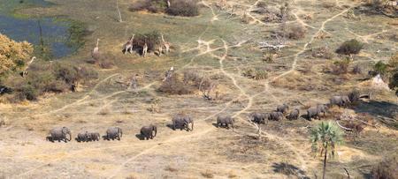 Elephants and giraffes in the Okavango delta (Botswana), aerial shot