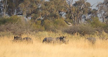 Black rhino standing in the grass, Botswana