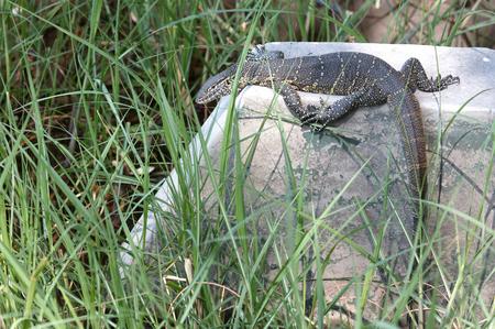 Portrait of wild Nile Monitor (Varanus niloticus) in Botswana