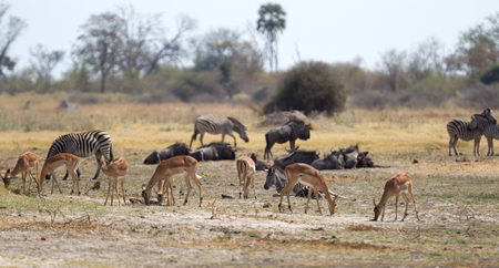 Large group of different animals close to a waterhole, Botswana