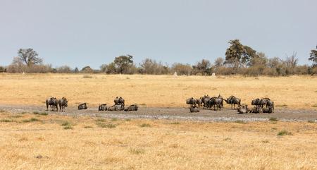 Large group of wildebeast close to a waterhole, Botswana Stock Photo