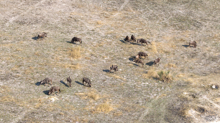 Blue Wildebeast in the Okavango delta (Botswana), aerial view Stock Photo