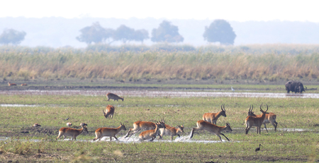 Red lechwe (Kobus leche) running and playing, Namibia