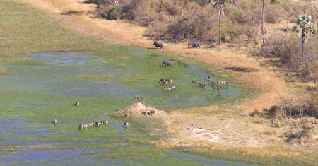 Elephants and zebras in the Okavango delta (Botswana), aerial shot