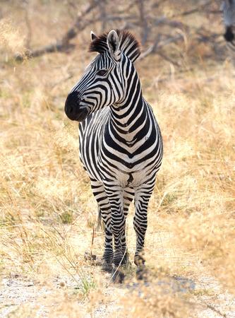 Zebra in der grasbewachsenen Natur, Abendsonne - Botswana Standard-Bild