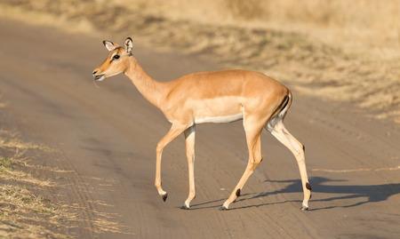Common Impala (Aepyceros melampus) walking in the Kalahari 版權商用圖片