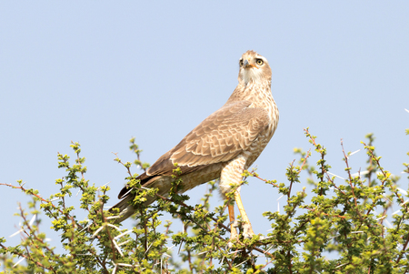 Pale Chanting Goshawk in a tree, Kalahari