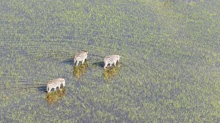 Wild African zebra in the Okavango delta - Botswana - Aerial view