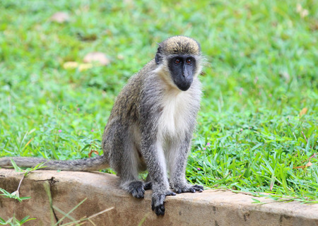 Green vervet monkey (Chlorocebus pygerythrus) in Gambia 写真素材