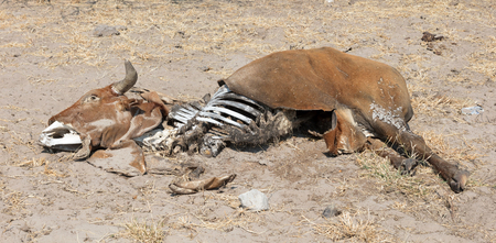 Dead cow medium close up, cause of death unknown - Botswana Imagens