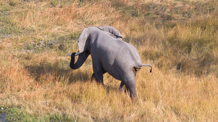 Elephant in the Okavango delta (Botswana), aerial shot