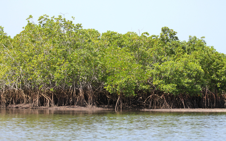 Dense mangrove forest in shallow waters, Gambia