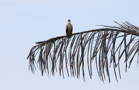 Palm-nut vulture at his roosting place - The Gambia