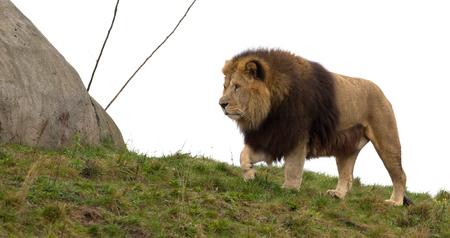 Male lion walking on grass, white background Stock Photo