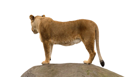 Lioness standing on a rock, watching her surroundings