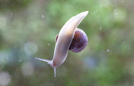 Common garden snail underside view - Ditry glass window - Selective focus