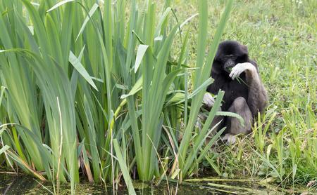 Adult white handed gibbon eating green leaves