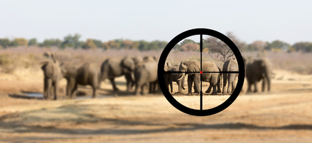 Hunting: African elephant in it's natural habitat, view of a hunter 免版税图像