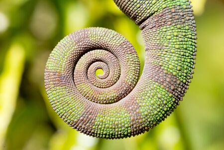 Rolled up tail of a panther chameleon (Furcifer pardalis), Madagascar