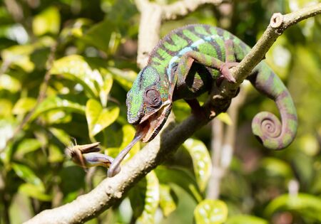 Panther chameleon Furcifer pardalis from Madagascar, perched on a branch, hunting