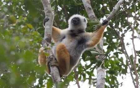 Golden Sifaka, dancing lemur of Madagascar, Africa