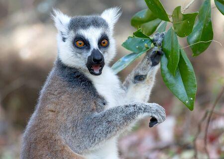 Famous Madagascar Maki lemur, Ring tailed lemur, eating. Reserve d'Anja National Park