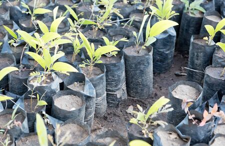 Small tree plantation in Madagascar - Let the jungle grow again 版權商用圖片 - 129987033