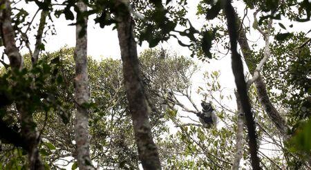 Indri, the biggest lemur of the world, sitting in the rain