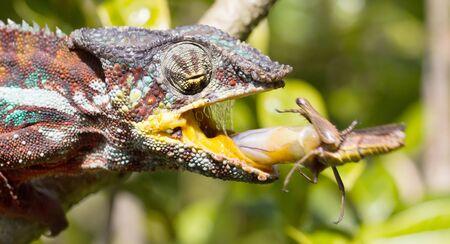 Panther chameleon (Furcifer pardalis) in Madagascar, hunting