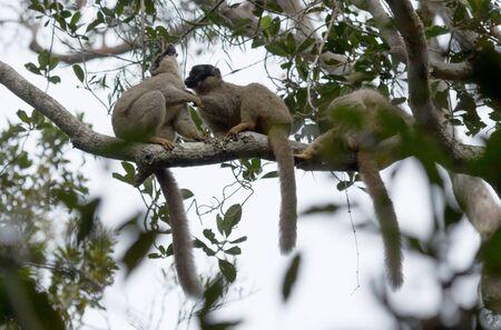Wet common Brown Lemur (Eulemur fulvus fulvus), Madagascar 스톡 콘텐츠