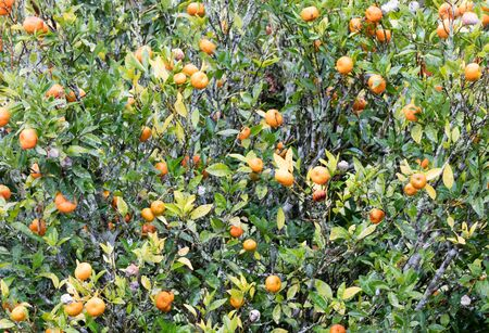 Ripe mandarin tree growing in central Madagascar, Africa 스톡 콘텐츠 - 129987731
