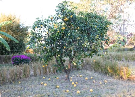 Ripe orange tree growing in central Madagascar, Africa