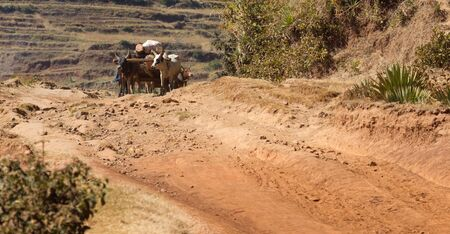 Zebu cart carrying wood over an impossible road, Madagascar, Africa