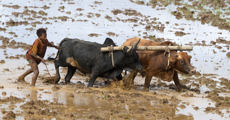 Antsirabe, Madagascar on july 25, 2019 : Malagasy young boy using zebu for plowing the field Redactioneel