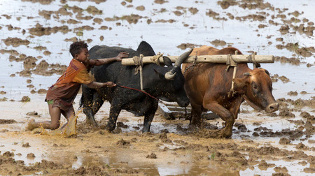 Antsirabe, Madagascar on july 25, 2019 : Malagasy young boy using zebu for plowing the field Editorial