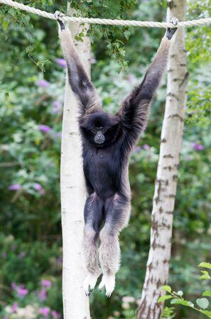 White-handed gibbon (Hylobates lar) hanging on rope Stock Photo