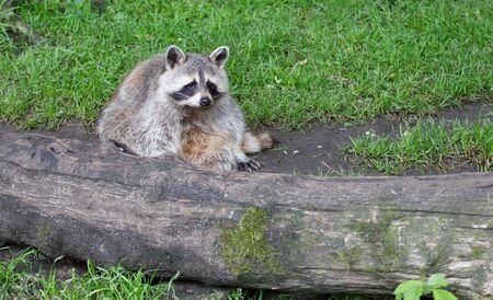 Adult racoon resting behind a big log