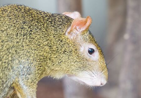 Agouti, aguti or common agouti, Dasyprocta, family of the Dasyproctidae, a rodent with brown fur 스톡 콘텐츠 - 130817547