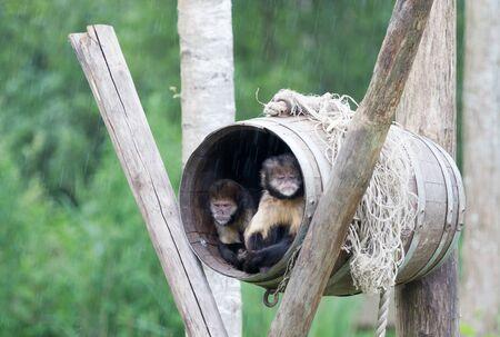 Golden-bellied Capuchin Cebus xanthosternos sitting in a barrel